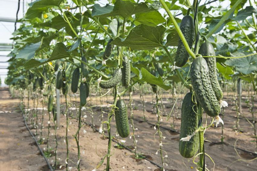 Tapestry for cucumbers: a simple and convenient way to get an excellent harvest